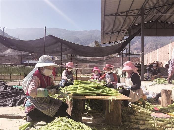 [邓川镇]种植贡菜成为洱源县农户脱贫增收新渠道
